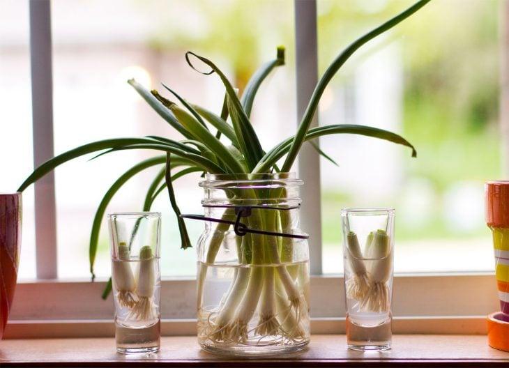 Cebollines largos colocados en un recipiente con agua