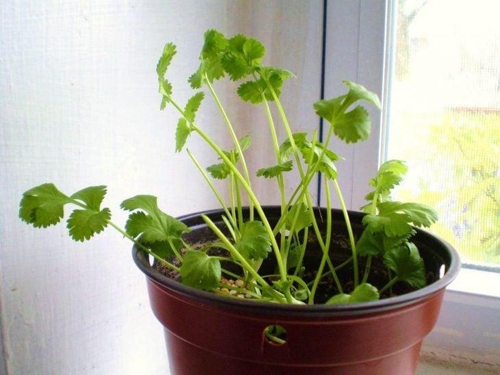 Maceta con cilantro cultivado en casa