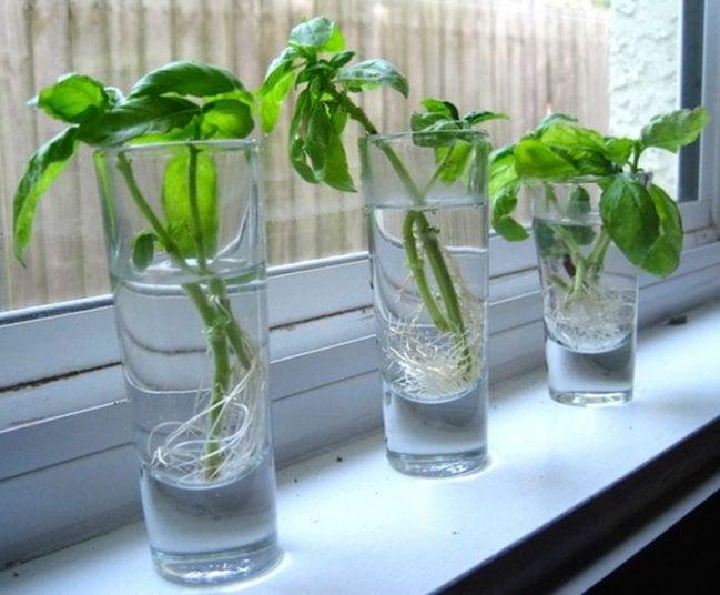 Vasos colocados sobre una bentana mientras tienen agia u una planta de albahaca