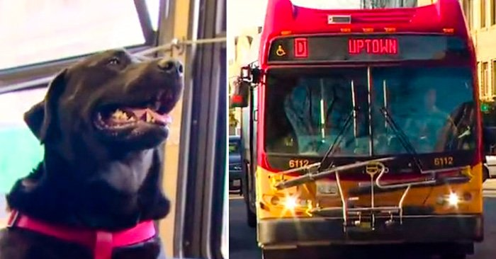En Seattle un PERRO viaja en AUTOBÚS sólo para ir al parque para perros