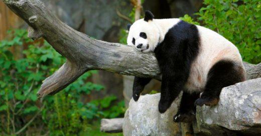 Esta PANDA fue acusada de fingir un EMBARAZO, sólo para conseguir mejor comida