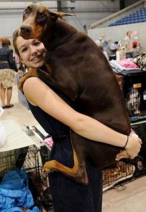 Perro doberman grande siendo cargado por su dueña