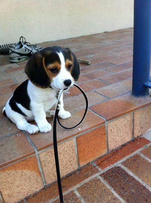 Perro llevando una correa