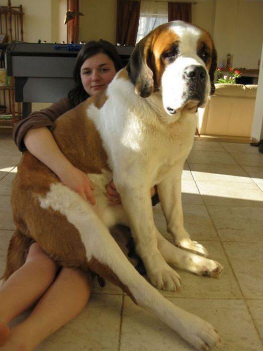 Perro San Bernardo encima de su dueña