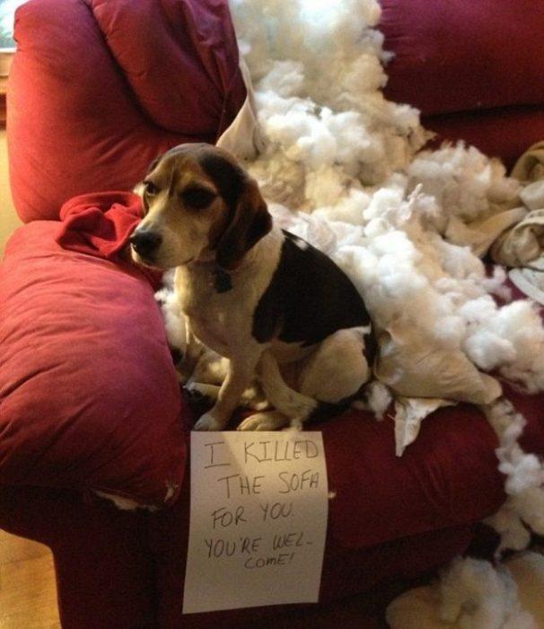 Perro beagle que rompió el sillón