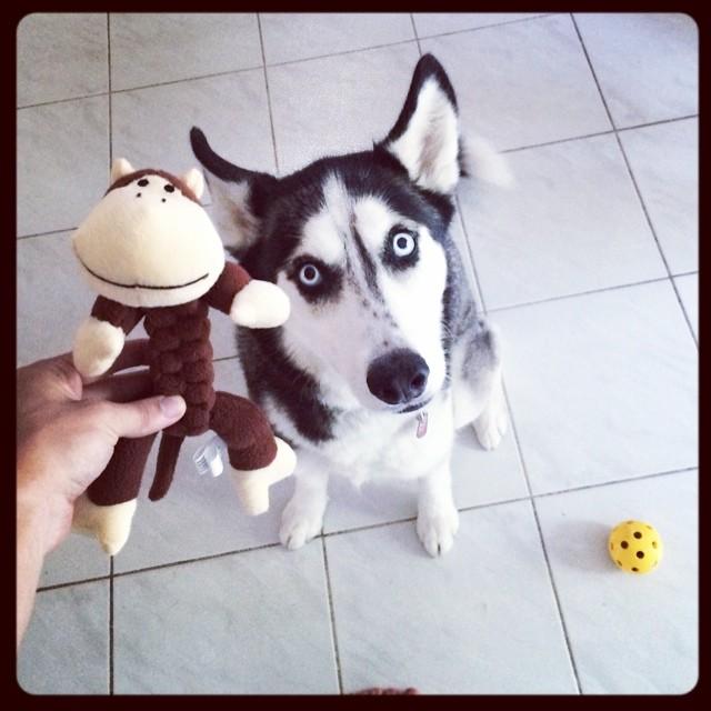 Perrita husky jugando con un mono de peluche
