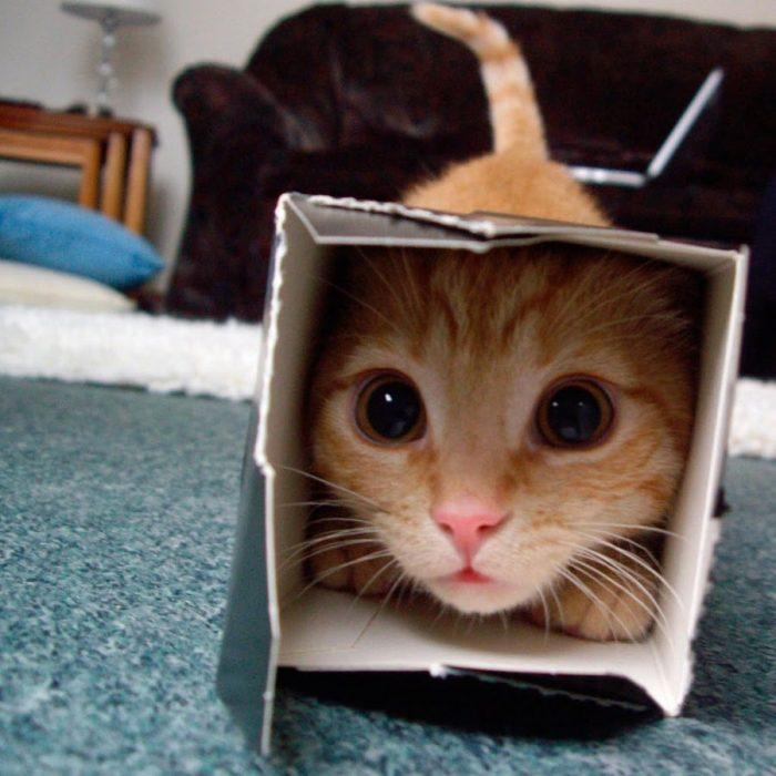 Gato jugando con un caja