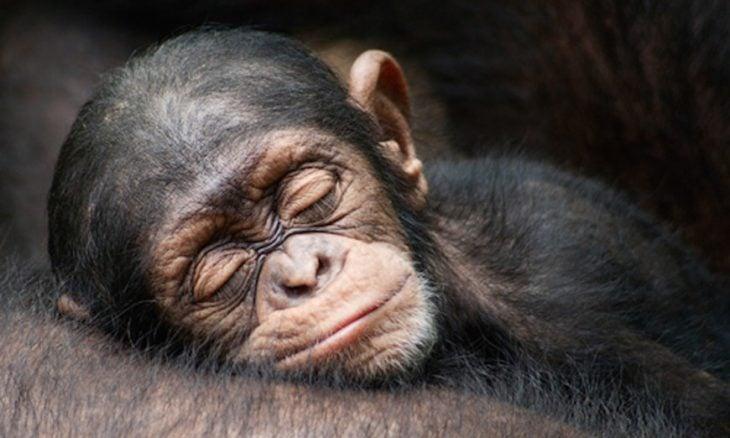 mono bebé durmiendo en el pecho de su mamá