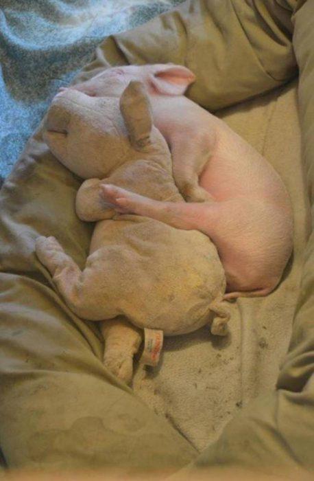 cerdo bebé dormido
