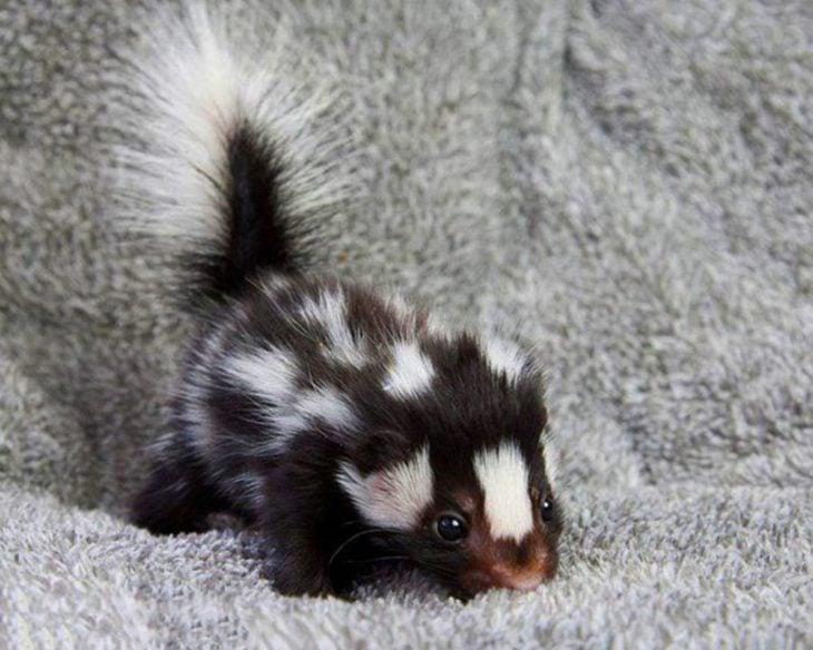 zorrillo bebé sobre una alfombra