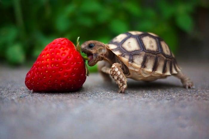 tortuga bebé comiendo una fresa