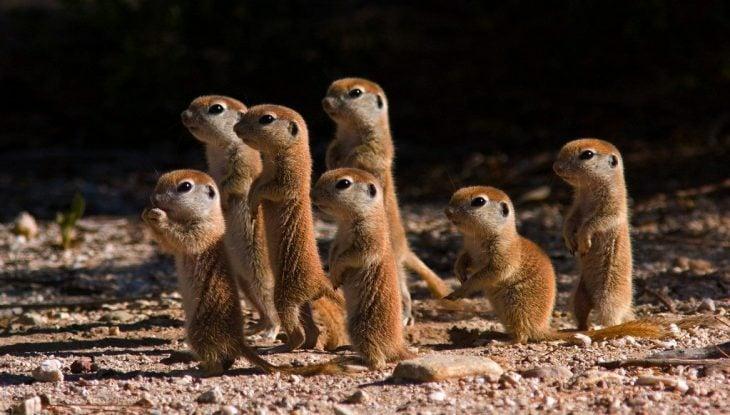 pequeños bebés suricata