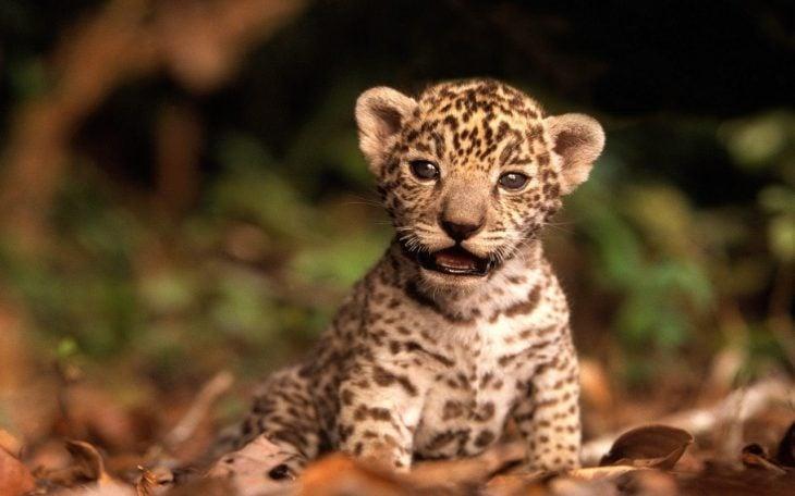 Tigre bebé sobre hojas