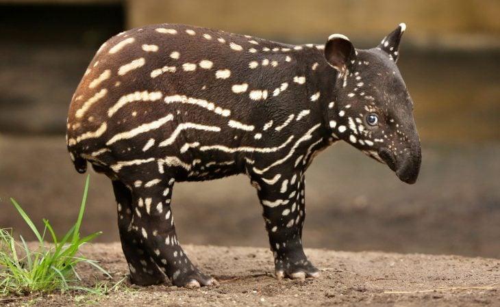 bebé tapir de color café con manchas color crema