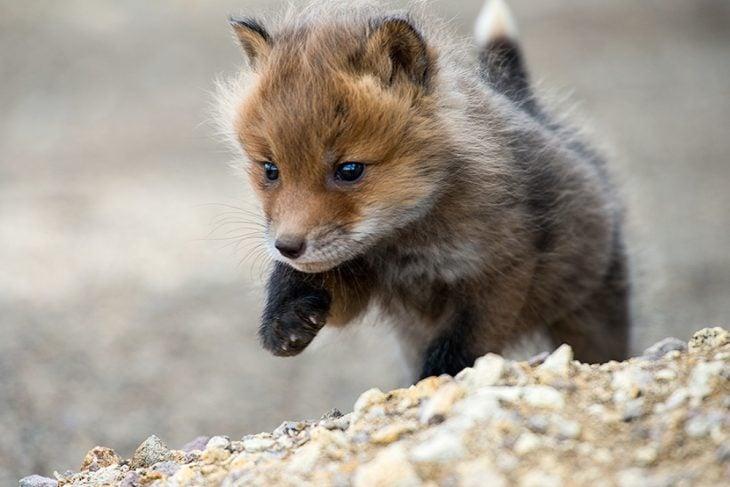 Bebé zorro corriendo