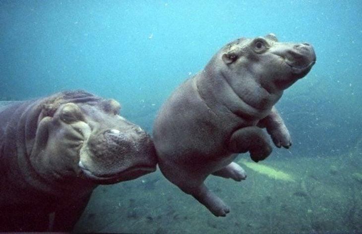 Hipopotamo bebé aprendiendo a nadar audado por si mamá