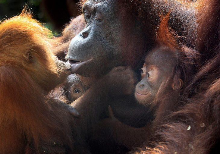 bebés orangutanes