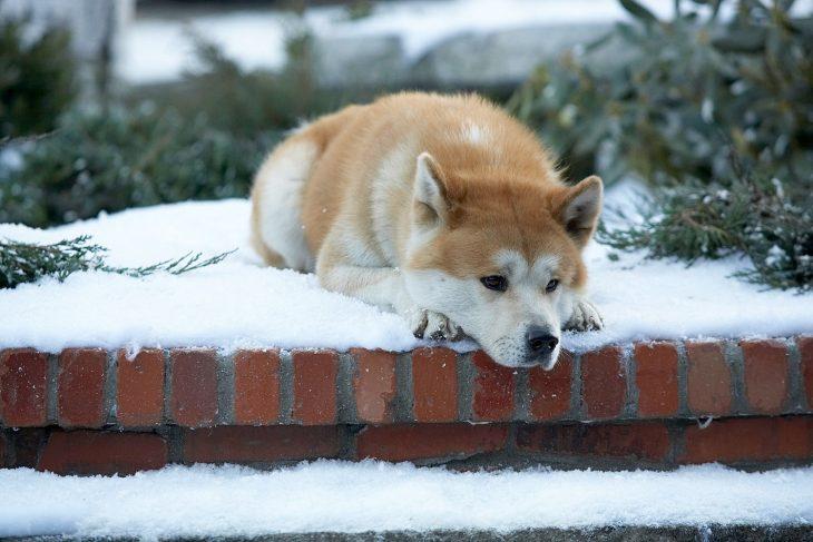 Escena de la película hachiko perro en la nieve recostado