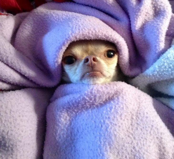 Perrito recostado en una cama envuelto en cobijas