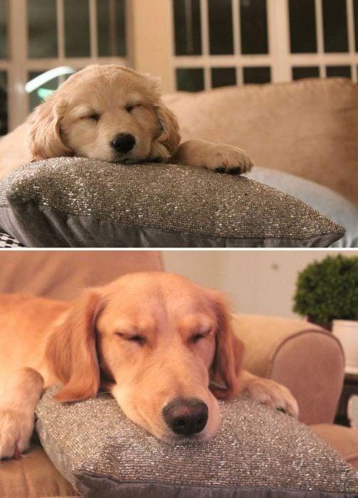 Perro antes y después de crecer recostado sobre un cojin