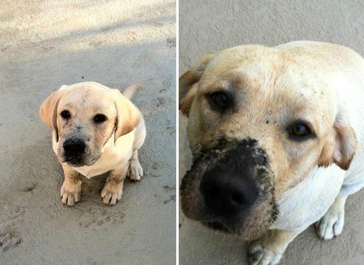 Perro antes y después de crecer con la nariz cubierta de lodo como cuando era pequeño