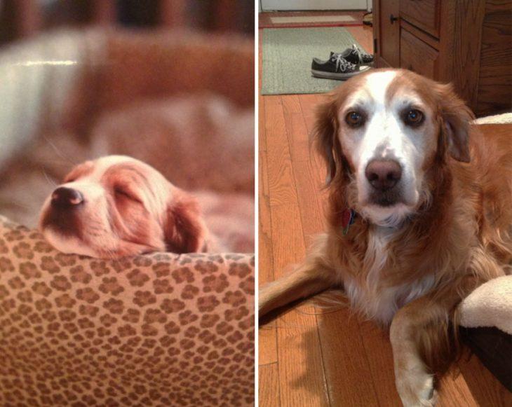 Perro antes y después de crecer dormido en la misma cama que cuando era pequeño