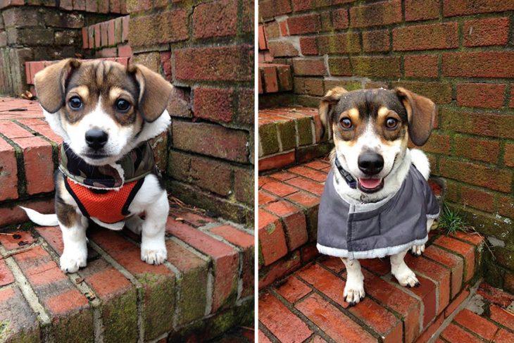 Perro antes y después de crecer parado sobre unas escaleras un año después de haber crecido