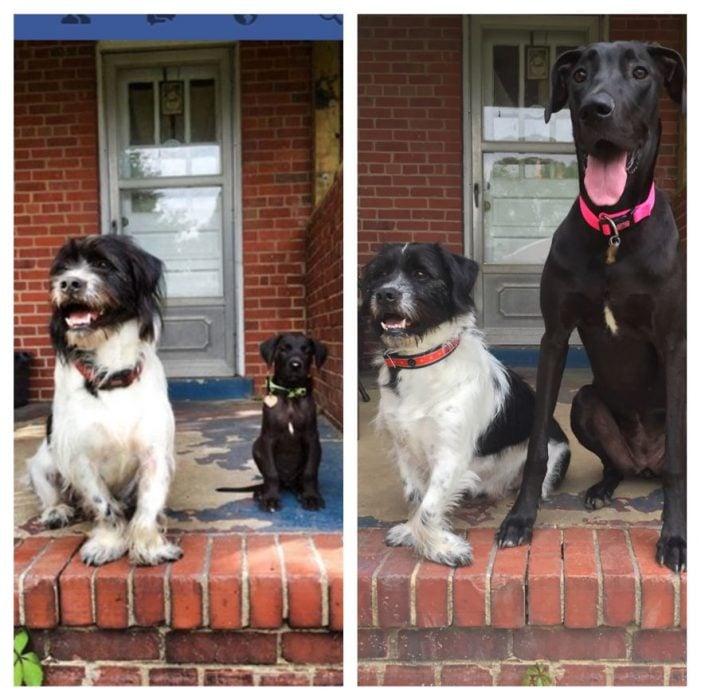 Perro antes y después de crecer parado junto a otro cachorro cuando eran pequeños