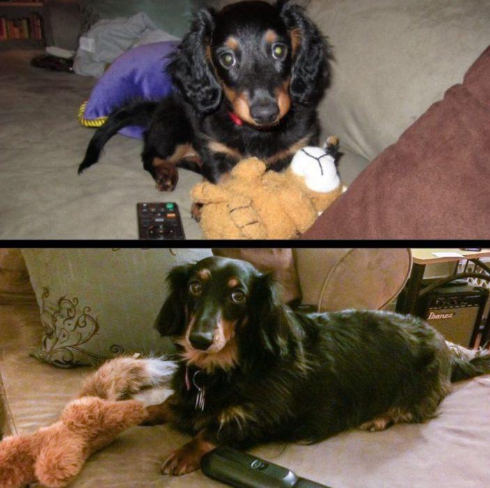 Perro antes y después de crecer recostado en un sofá