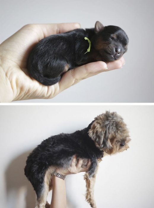 Perro antes y después de crecer sostenido por su sueño