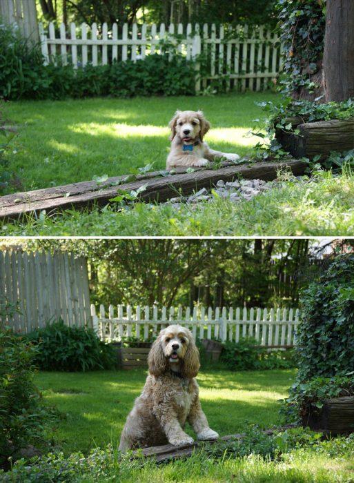 Perro antes y después de crecer parado en el mismo jardín de cuando era bebé