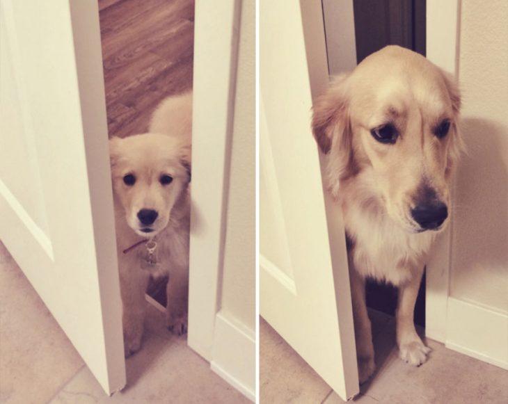 Perro antes y después de crecer parado detrás de una puerta