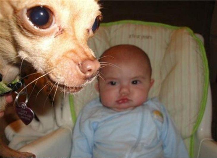 photobomb perro chihuahua con bebé