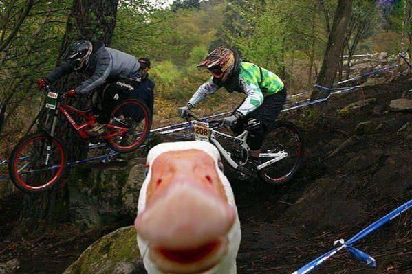 photobomb pato frente a la cámara con ciclistas atrás