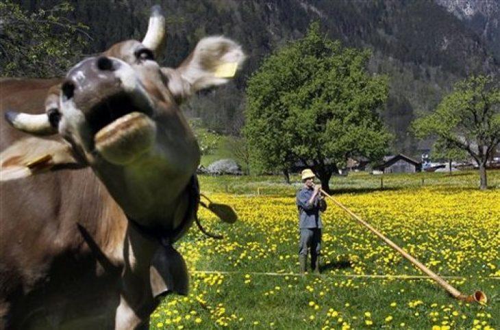 photobomb vaca se mete en fotografía