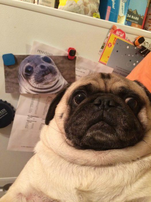 photobomb pug con foto de foca detrás