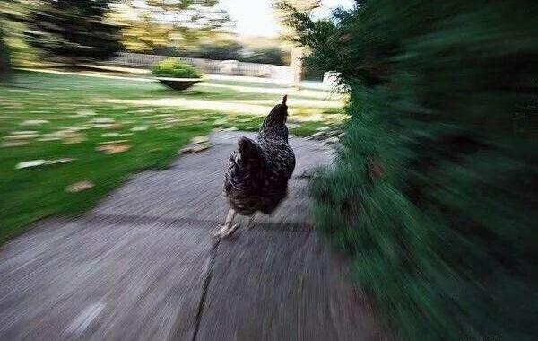 gallina corriendo