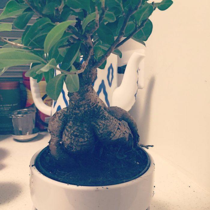 Bonsai que tiene dos protuberancias en forma de pechos