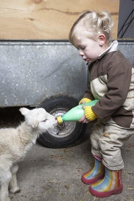 niña dando leche a un becerro