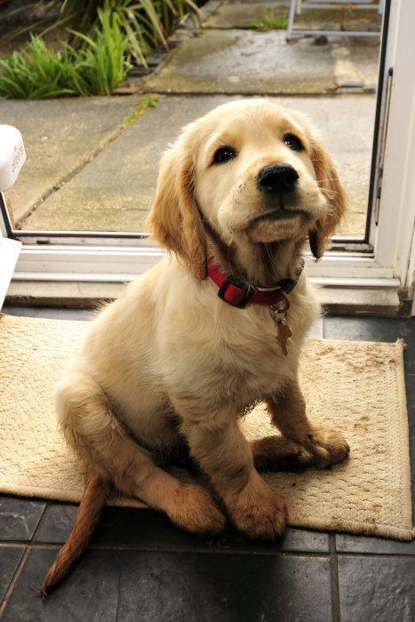 Cachorro golden sucio
