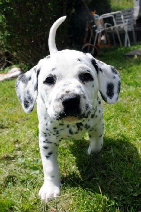 Cachorro dalmata corriendo