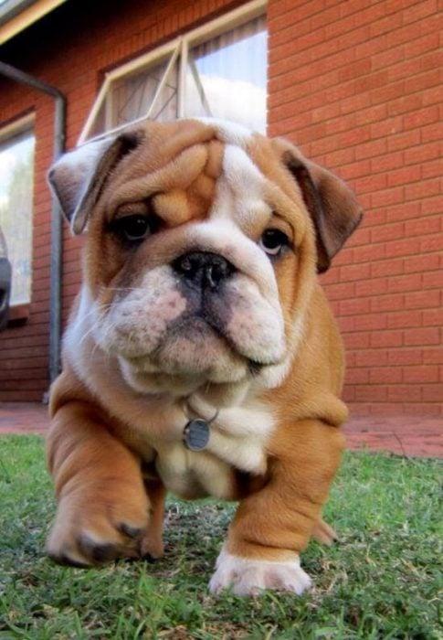 Bulldog cachorro