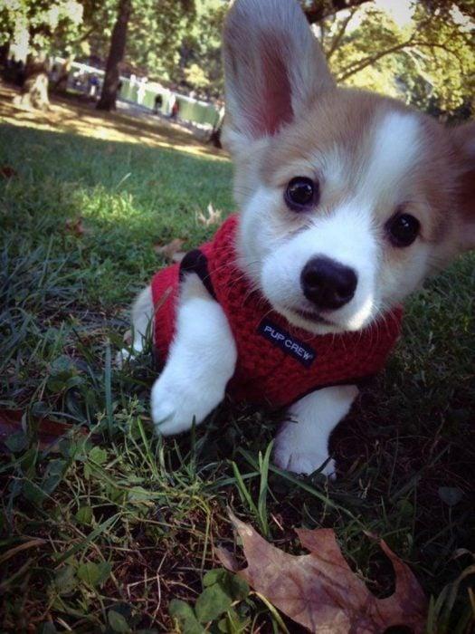 Cachorro con suéter