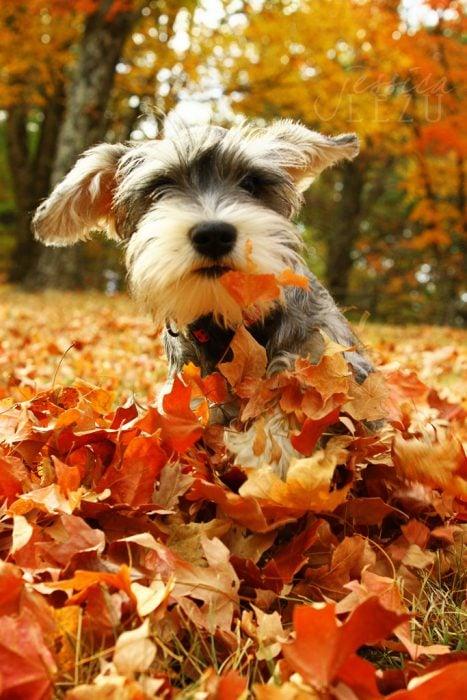 Cachorro schnauzer jugando en las hojas