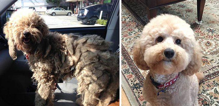 Perrito poodle café antes y después de ser rescatado de la calle