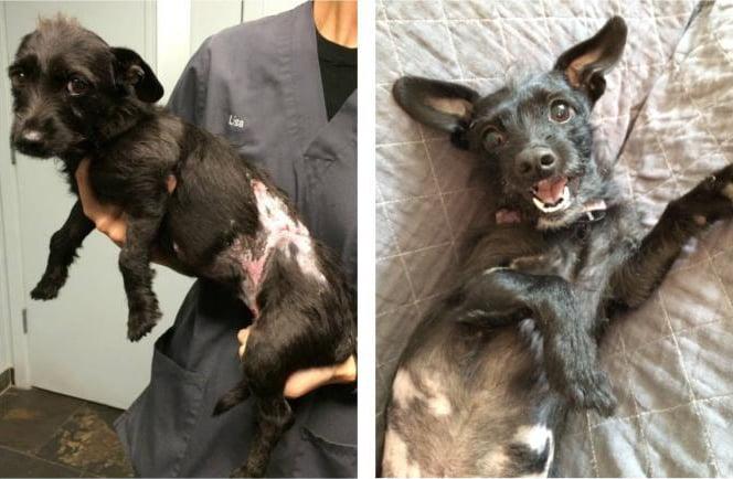 Perrito negro quemado antes y después de ser rescatado de la calle
