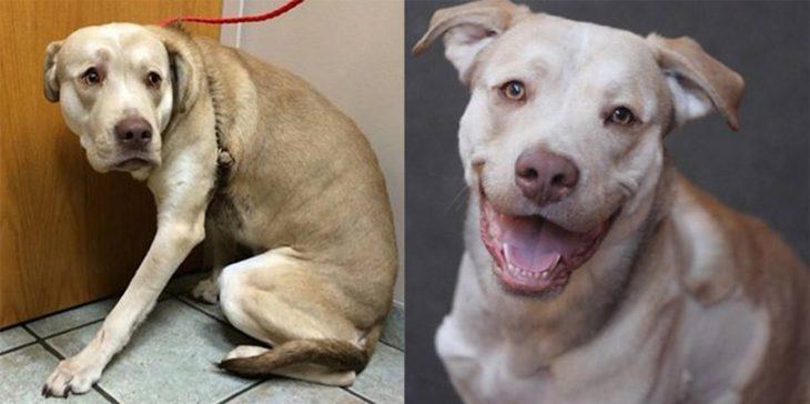 Perrito pitbull antes y después de ser rescatado de la calle con un collar en su piel