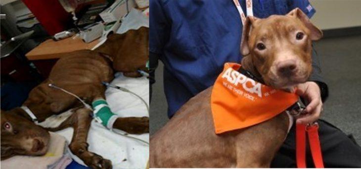 Perrito café pitbull antes y después de ser rescatado de la calle después de ser encontrado en una maleta
