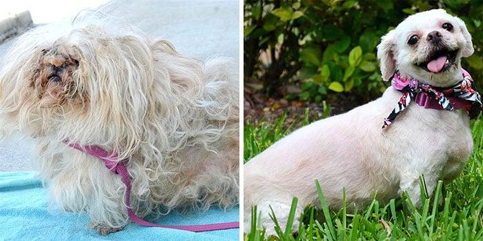 Perrito color blanco antes y después de ser rescatado de la calle