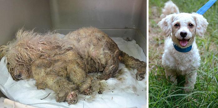 Perritopoodle blanco antes y después de ser rescatado de la calle